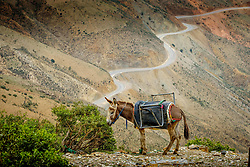 Tethered donkey grazing in the High Atlas Mountains, Morocco, North Africa<br /> <br /> (c) Andrew Wilson | Edinburgh Elite media