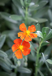 Helianthemum 'Henfield Brilliant' AGM - rock rose