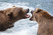 Two sub-adult brown bears having a conversation, in Katmai National Park.