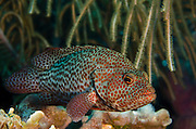 Graysby (Cephalopholis cruentatus)<br /> BONAIRE, Netherlands Antilles, Caribbean<br /> HABITAT & DISTRIBUTION: Coral reefs with small ledges and caves. Florida, Bahamas, Caribbean, Gulf of Mexico south to Brazil.