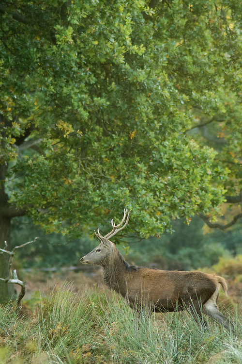 Young Red Stag.