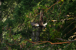 Bald Eagle (Haliaeetus leucocephalus), Hotham Sound, Sunshine Coast, British Columbia, Canada