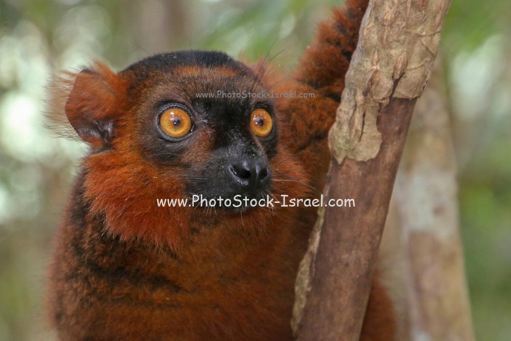red ruffed lemur (Varecia rubra). Photographed in Madagascar