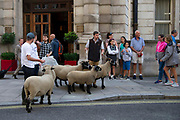 Tourists look on as campaign group Farmers For A Peoples Vote herd a flock of sheep from Mudchute Farm in East London past government building in Whitehall in London, United Kingdom on 15th August 2019. They are concerned about the inpact of a no deal Brexit on farming and agriculture.