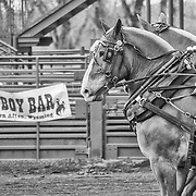 """A team of horses in the """"Heavies"""" class of horse-pulling at a contest in Afton, WY."""