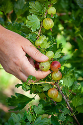 Thinning out gooseberries to give a longer cropping season and encourage larger fruits
