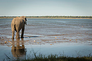African elephant by river in Mana Pools National Park, Zambia