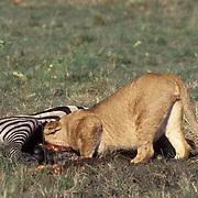 African Lion, (Panthera leo) Older cub feeding on zebra. Masai Mara Game Reserve. Kenya. Africa.