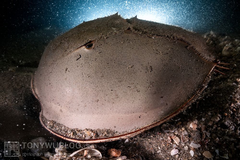 This is a close-up view of a male tri-spine horseshoe crab (Tachypleus tridentatus) that is in the process of fertilizing eggs being deposited by the female in the substrate beneath the male. The female has burrowed into the mud and gravel, with her head and most of her torso buried.<br /> <br /> Although these animals are called crabs, they are not members of the Subphylum Crustacea. They belong to a separate Subphylum—Chelicerata—which also comprises sea spiders, arachnids, and several extinct lineages such as sea scorpions. The earliest known fossils of horseshoe crabs date back 450 million years ago, qualifying these animals as living fossils, as they have remained largely unchanged.<br /> <br /> Tachypleus tridentatus is the largest of the four living species of these marine arthropods, all of which are endangered.<br /> <br /> Though habitat loss and overharvesting of these animals for food are primary contributors to the population decline of horseshoe crabs, the biomedical industry is also a major factor. Horseshoe crabs are bled for their amoebocytes (akin to white blood cells), which are used to derive an extract that reacts in the presence endotoxin lipopolysaccharide, which is found in the membranes of gram-negative bacteria. Estimates suggest that between three and 30% of the animals die as a result. There have also been suggestions that taking up to a third of each animal's blood adversely affects their ability to undertake vital functions, such as procreation, even if the animals survive.<br /> <br /> Synthetic substitute tests have been available since 2003. The biomedical industry has however been reluctant to discontinue the practice of bleeding live animals.
