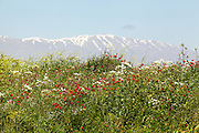 Wildflowers blooming on the Golan Heights, Israel. Mount Hermon in the background. Photographed in Spring May