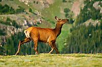 Prancing Elk