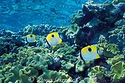 teardrop butterflyfish, onespot butterflyfish, or teardrop coralfish, Chaetodon unimaculatus, Agincourt Reef, Great Barrier Reef, Australia ( Western Pacific Ocean )