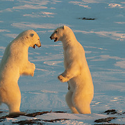 Two polar bears playing on the shores of Hudson Bay. Churchill, Manitoba, Canada