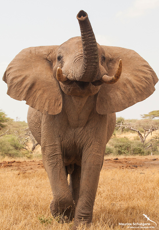 A bull elephant approached me at Ol Donyo Lodge, Chyulu Hills National Park, Kenya.