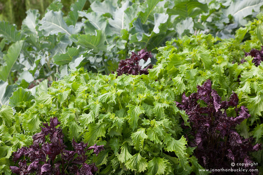 Perilla frutescens (Beefsteak plant, Shiso) Green and Red leaved forms