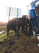 Two ELEPHANTS stop 18 wheeler from tipping off side of Louisiana highway<br /> <br /> Two elephants saved the day Tuesday after an 18-wheeler in which they were being hauled from New Orleans to Texas nearly tipped over were it not for their help.<br /> They were two of three Asian elephants in the truck being transported from Florida to a circus in Dallas when the driver pulled over on I-49 in Natchitoches Parish around 7am.<br /> When mud caused the long-haul truck to begin to tip onto its side, a trainer had the bright idea of enlisting the pachyderms for help.<br /> <br /> Video reveals him coaxing one of the beasts out of the truck as the other is already standing with its head anchoring the truck's trailer.<br /> When members of the Natchitoches Parish Sheriff's department arrived, 'they were astounded to find two elephants keeping the eighteen wheeler from overturning,' reads the department's official statement.<br /> A local wrecker was soon enlisted to pull out the 2000 Kenworth eighteen wheeler and no citations were issued,<br /> <br /> The elephants, presumably, went on their way.<br /> <br /> But where they were headed doesn't sit well for many.<br /> In fact, the nation's largest circus, Ringling Bros. and Barnum & Bailey, is ending its iconic elephant acts due to growing public concern about how the endangered creatures are treated.<br /> The circus' parent company, Feld Entertainment, told The Associated Press exclusively that the acts will be phased out by 2018.<br /> <br /> The circus plans to phase out elephant acts by 2018. Feld's 43 elephants will live at the company's 200-acre Center for Elephant Conservation in central Florida.<br /> Twenty-nine animals are already there, and the other 14 will arrive as they are phased out from the circus.<br /> Elephant acts have been showcased by Ringling for more than a century and have often been featured in its posters<br /> ©Exclusivepix media