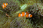 False Clown Anemonefish (Amphiprion ocellaris) & Magnificent Sea Anemone (Heteractis magnifica)<br /> Raja Ampat<br /> West Papua<br /> Indonesia