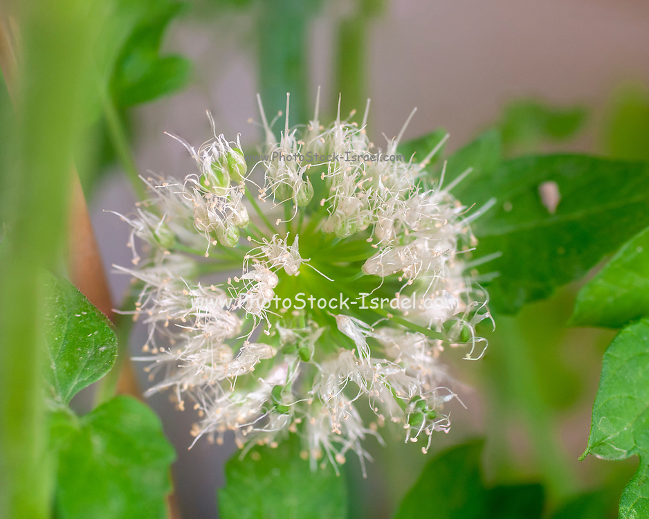 flowering flower-ball of an onion plant