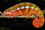 Panther Chameleon (Chamaeleo pardalis) sleeping position, eastern rainforest, Tamatave, Madagascar