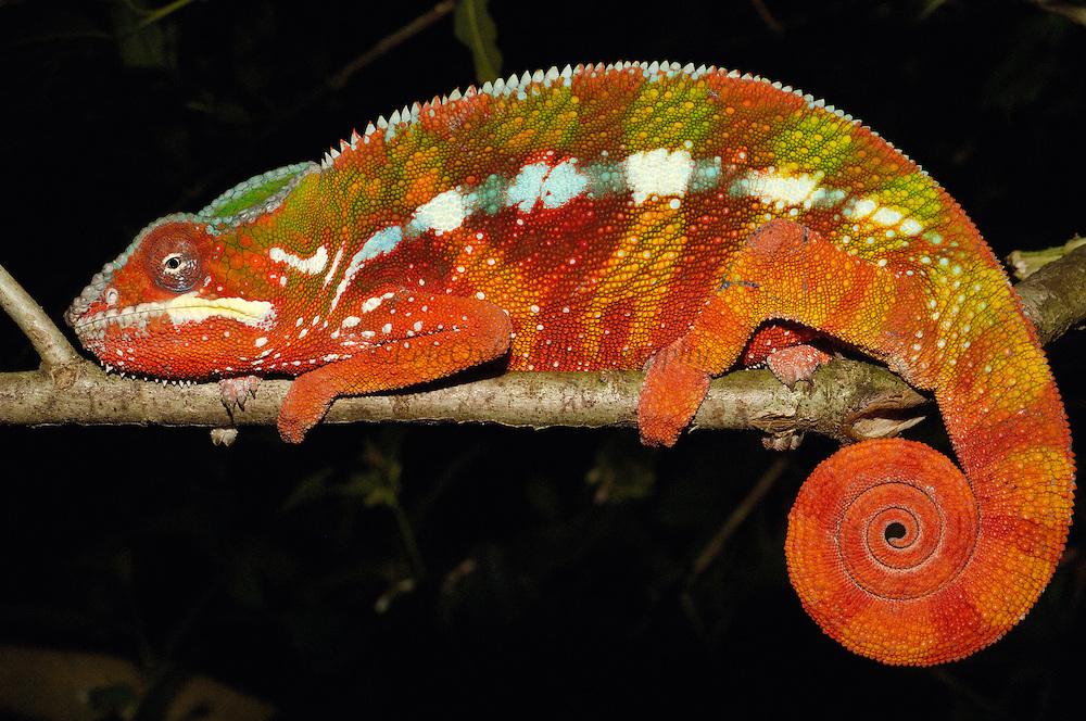 Panther Chameleon (Chamaeleo pardalis) sleeping position, eastern rainforest, Tamatave, Madagascar