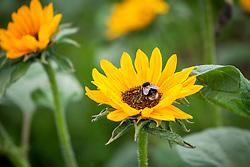 Bee on Helianthus annuus 'Sonja'. Sunflower