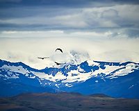 Andean Condor soaring while traveling from Estancia Lazo to Hosteria Lago Grey. Torres del Paine National Park, Chile. Image taken with a Nikon D3s camera and 70-300 mm VR lens (ISO 200, 300 mm, f/13, 1/640 sec).