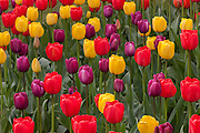 A variety of colorful tulips, red, yellow and purple, bloom at Roozengaarde near Mount Vernon, Washington. Each year, a million visitors check out 300 acres of cultivated tulips at a variety of growers in the Skagit Valley area.