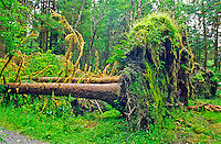 Sitka Spruce (Picea sitchensis) Sitka spruce trees have very shallow root systems.  As this photo illustrates, they are vulnerable to strong gusty winds.  As a result, they are often blown over during storms.  Olympic National Park, Washington.