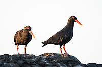 African Black Oystercatcher pair, Garden Route National Park, Western Cape, South Africa