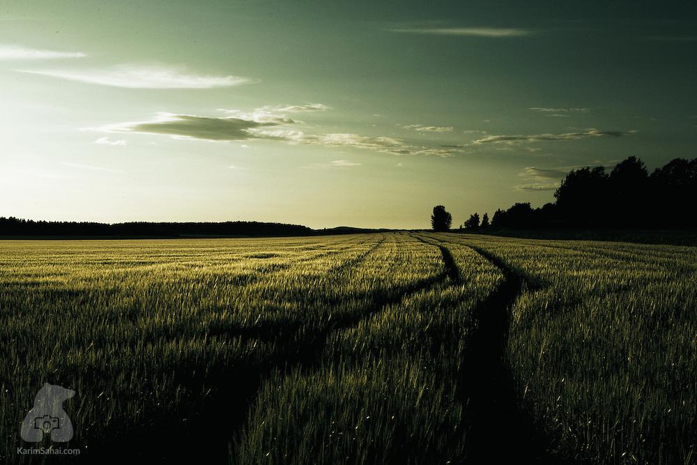 A rye field at sunset, Lunedet, Varmland, Sweden.
