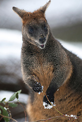 Wallaby in the snow at Edinburgh Zoo..©Michael Schofield.