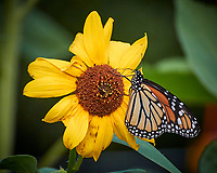 Monarch Butterfly on a Sunflower. Image taken with a Nikon 1 V3 camera and 70-300 mm VR lens.