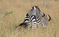 Grant's Zebras, Equus quagga boehmi, in Serengeti National Park, Tanzania