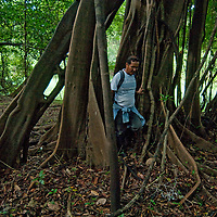 An Indian guide in Peru's Amazon Jungle hikes through a tree that has grown multiple above-ground roots in order to stabilize & anchor itself in the shallow soil.