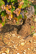 Soil detail. Stony. Sand. Pinot Noir. Beaune, Cote d'Or, Burgundy, France