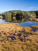 Beech trees and wetland; Scene from Mavora Lakes Park, near Mossburn, Southland, New Zealand.