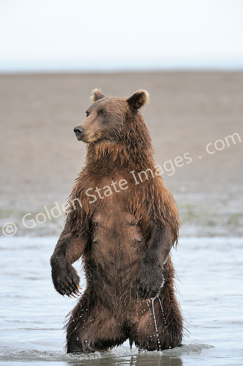 Sow standing while fishing for a better view of Salmon running up the creek. <br /> <br /> Brown Bears and Grizzly Bears are the same species. In general Bears living within 50 miles of the coast are considered browns. Animals living further inland are considered Grizzlies.  <br /> <br /> Grizzlies are omnivores feeding on a variety of plants berries roots and grasses in addition to fish insects and small mammals. Salmon are a key part of their diet. Normally a solitary animal they will congregate along streams and rivers during Salmon runs. Weight to over 1200 pounds.    <br />  <br /> Range: Native to Asia Africa Europe and North America. Now extinct in much of their original range.    <br />   <br /> Species: Ursus arctos