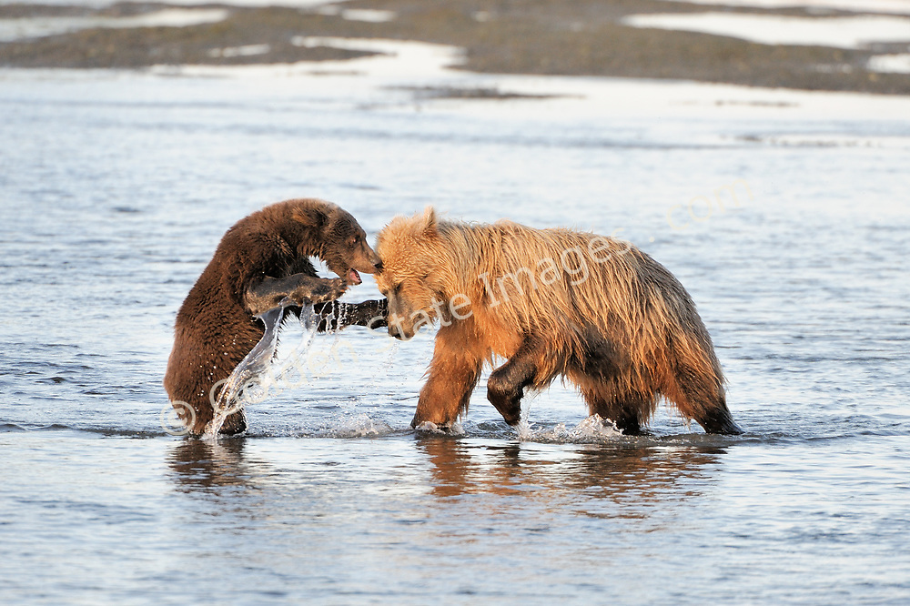 Sow with cub in tidal flats at creeks outlet to the ocean. <br /> <br /> Brown Bears and Grizzly Bears are the same species. In general Bears living within 50 miles of the coast are considered browns. Animals living further inland are considered Grizzlies.  <br /> <br /> Grizzlies are omnivores feeding on a variety of plants berries roots and grasses in addition to fish insects and small mammals. Salmon are a key part of their diet. Normally a solitary animal they will congregate along streams and rivers during Salmon runs. Weight to over 1200 pounds.    <br />  <br /> Range: Native to Asia Africa Europe and North America. Now extinct in much of their original range.    <br />   <br /> Species: Ursus arctos