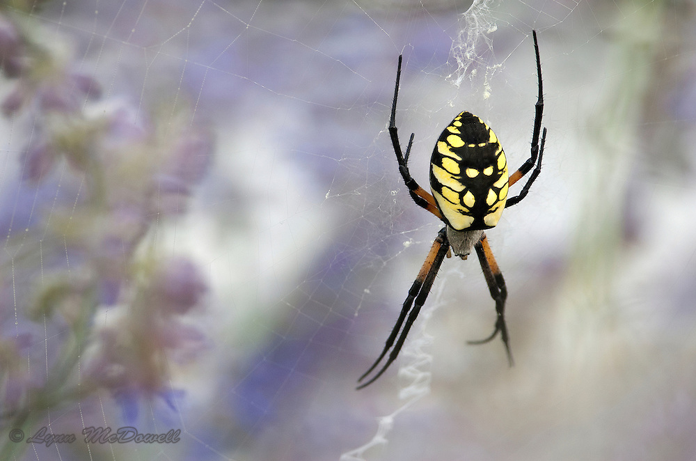 This Black-and-yellow Argiope spiders web created a stained glass effect on the sage flowers.  I like the contrast of the bold striking spider and the soft web and flowers.