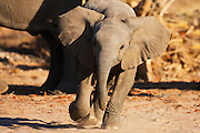 An small desert-adapted elephant calf (Loxodonta africana) displays agitation by mock charging to show his displeasure while his mother quietly feeds behind him, Skeleton Coast, Namibia,Africa