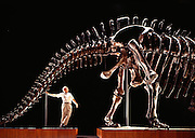 Jack McIntosh, the leading expert on sauropods, admires the  Carnegie Museum of Natural History's Apatosaurus.  This forty-ton vegetarian is over 77 feet (23 meters) long and is the longest mounted dinosaur in the world.