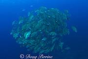 spawning aggregation of dog snappers, Lutjanus jocu, <br />  (pre-spawn), Gladden Spit & Silk Cayes Marine Reserve, <br /> off Placencia,  Belize, Central America ( Caribbean Sea )