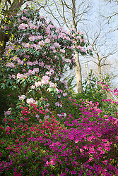 Rhododendron augustinii (pink form) check id with azaleas