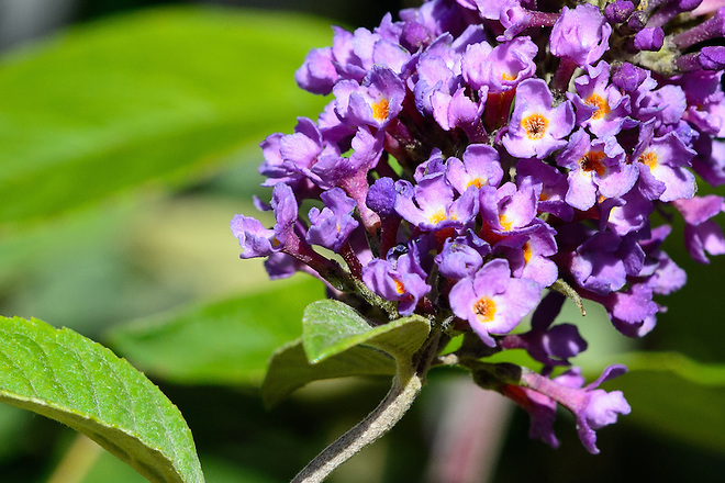 Lo & Behold Blue Chip Dwarf Summer Lilac (Buddlejais) is a deciduous shrub that is considered water-wise or drought tolerant and it is available at local nurseries in California. Photo taken May 12, 2016.   Kelly M. Grow / California Department of Water Resources