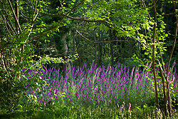 Foxgloves in a woodland clearing, East Sussex. Digitalis purpurea