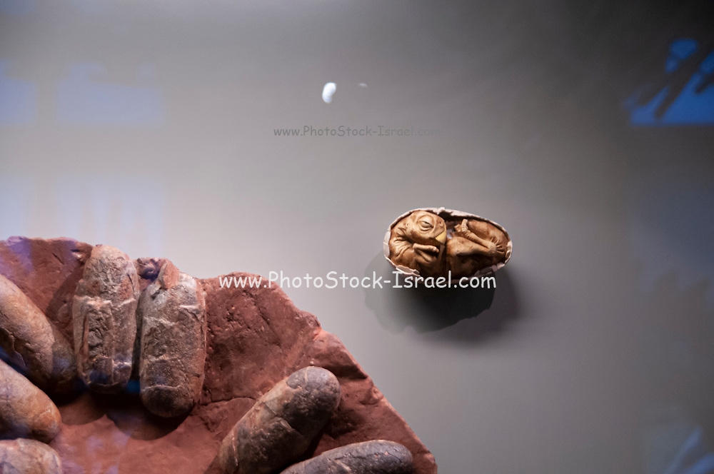 Fossilized dinosaur eggs and nest. Clutch of fossilised Oviraptor sp. dinosaur eggs dating from around 72 million years ago, during Late Cretaceous period. from the Natural History Museum, Vienna, Austria