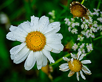 Daisy after the rain. Image taken with a Fuji X-T3 camera and 80 mm f/2.8 OIS macro lens