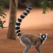Ring-tailed lemur (Lemur catta), Madagascar