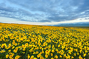 Poppies in Morning along the Caliente Range, Carrizo Plain National Monument, California