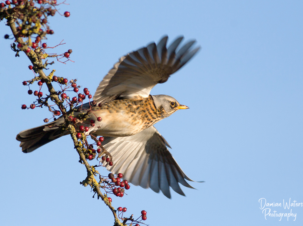 Fieldfare - Turdus pilaris - adult taking flight from Hawthorn tree with berries, Wirral, UK - January